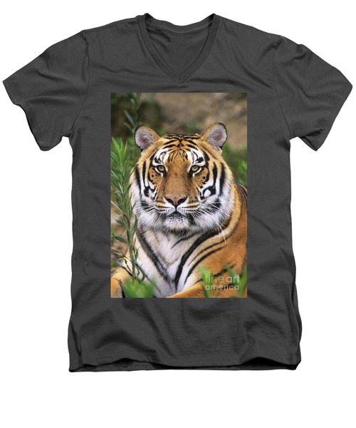 Siberian Tiger Staring Endangered Species Wildlife Rescue Men's V-Neck T-Shirt by Dave Welling