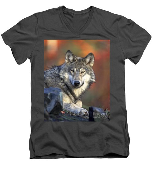 Men's V-Neck T-Shirt featuring the photograph Wolf Predator Canidae Canis Lupus Hunter by Paul Fearn