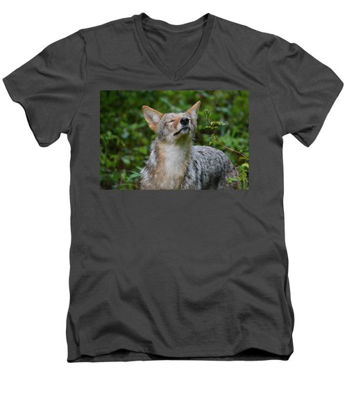 Coyote Soaking Up The Morning Sun Men's V-Neck T-Shirt