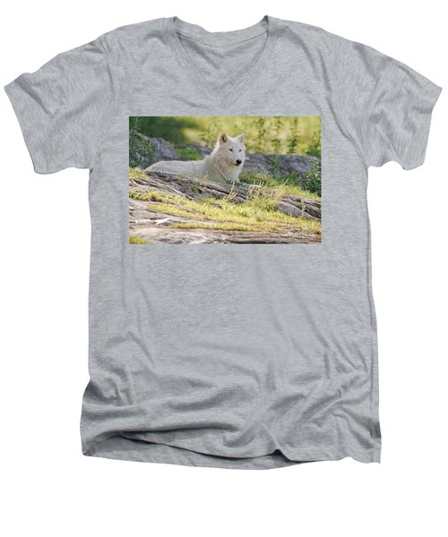 Men's V-Neck T-Shirt featuring the photograph Resting Arctic Wolf by Wolves Only