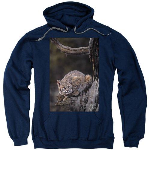 Crouching Bobcat Montana Wildlife Sweatshirt