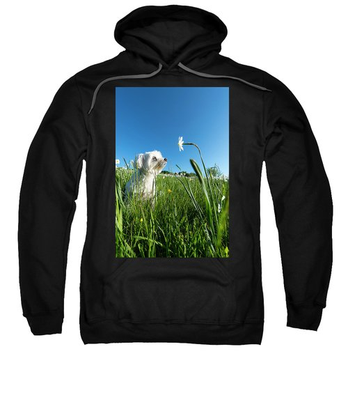 Blooming Daffodils In The Antola Park With Maltese IIi Sweatshirt