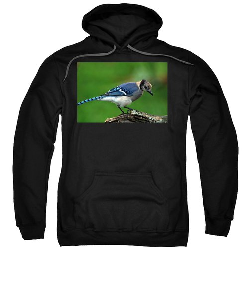 Juvenile Blue Jay  Sweatshirt