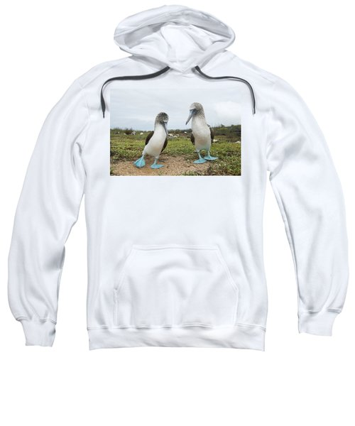 Blue-footed Booby Pair Courting Sweatshirt by Tui De Roy