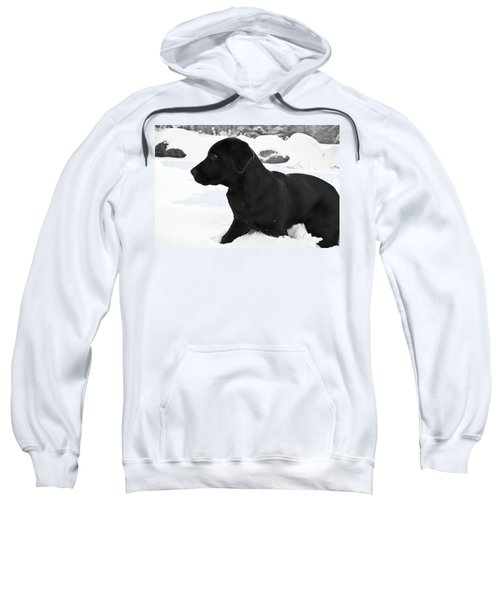 A Black Labrador Retriever Puppy Plays Sweatshirt