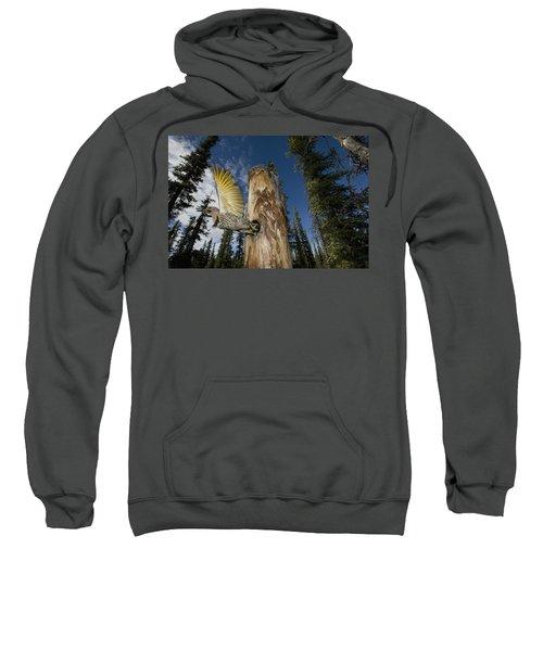Northern Flicker Leaving Nest Cavity Sweatshirt