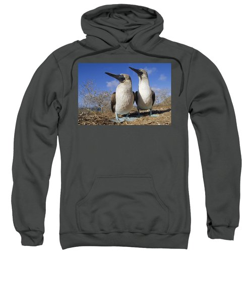 Blue-footed Booby Courting Couple Sweatshirt by Tui De Roy