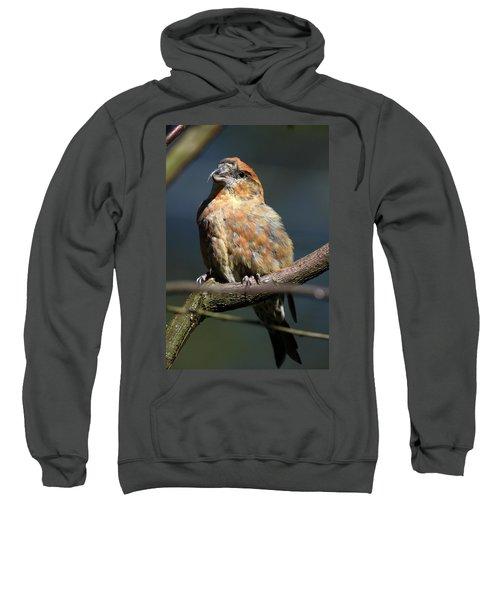 Crossbill Loxia Curvirostra Male Spain Sweatshirt