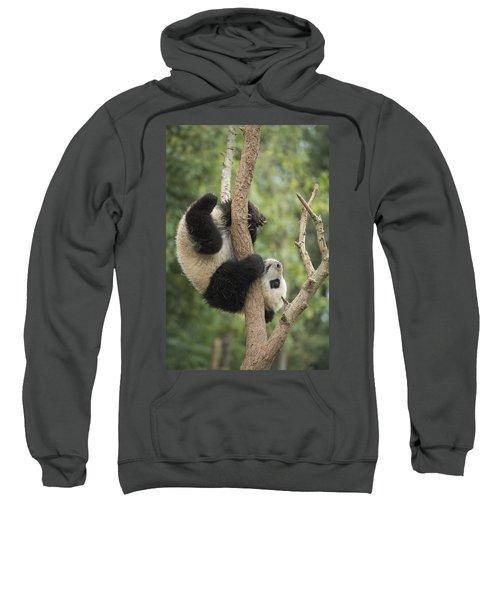 Giant Panda Cub In Tree Chengdu Sichuan Sweatshirt