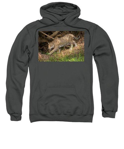 Jaguar Panthera Onca Foraging Sweatshirt