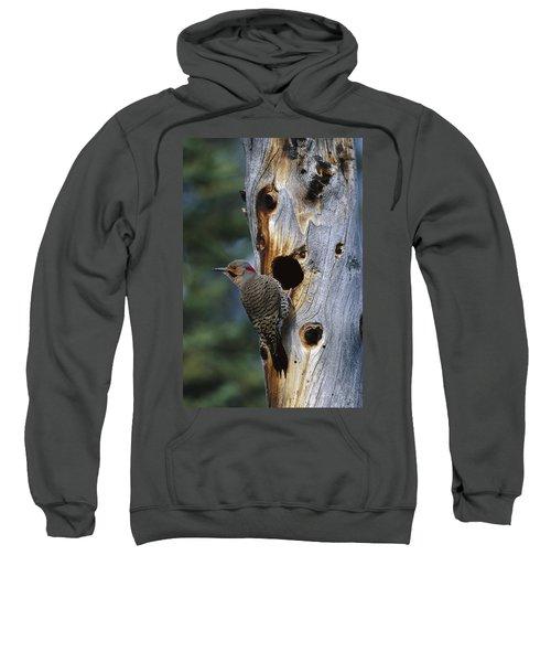Northern Flicker Near Nest Cavity Alaska Sweatshirt