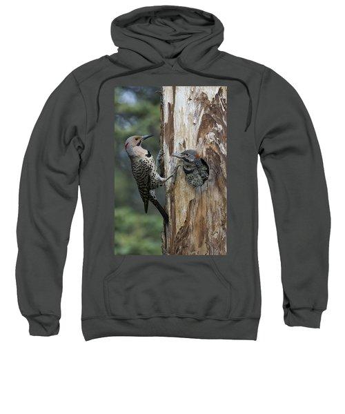 Northern Flicker Parent At Nest Cavity Sweatshirt