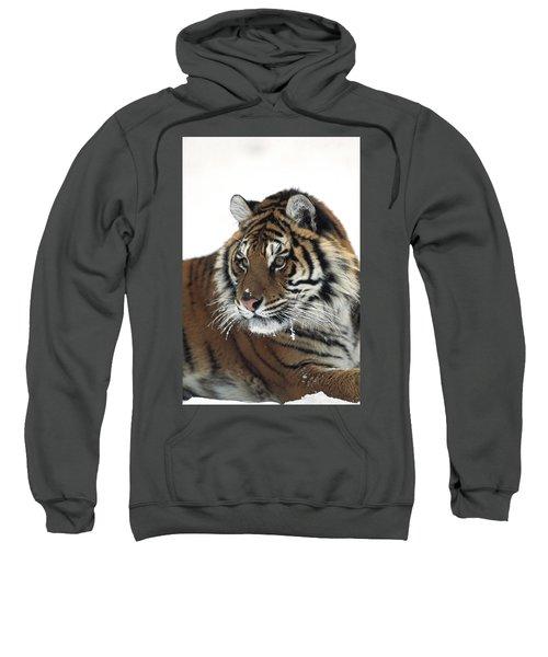 Siberian Tiger Panthera Tigris Altaica Sweatshirt