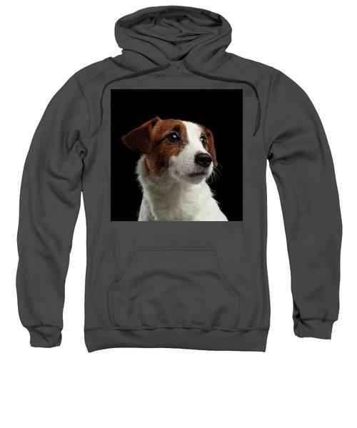 Closeup Portrait Of Jack Russell Terrier Dog On Black Sweatshirt