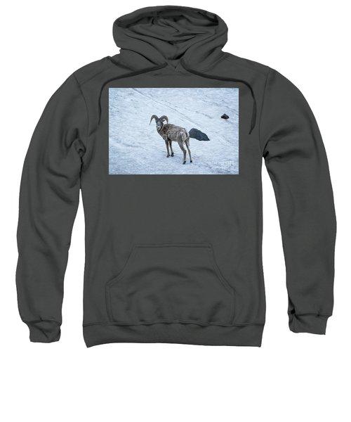 Big Horn Sheep  Sweatshirt