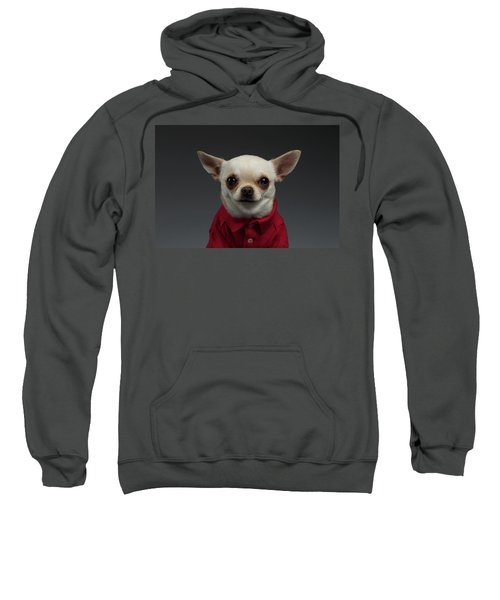 Closeup Portrait Chihuahua Dog In Stylish Clothes. Gray Background Sweatshirt