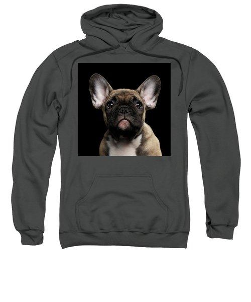 Closeup Portrait French Bulldog Puppy, Cute Looking In Camera Sweatshirt