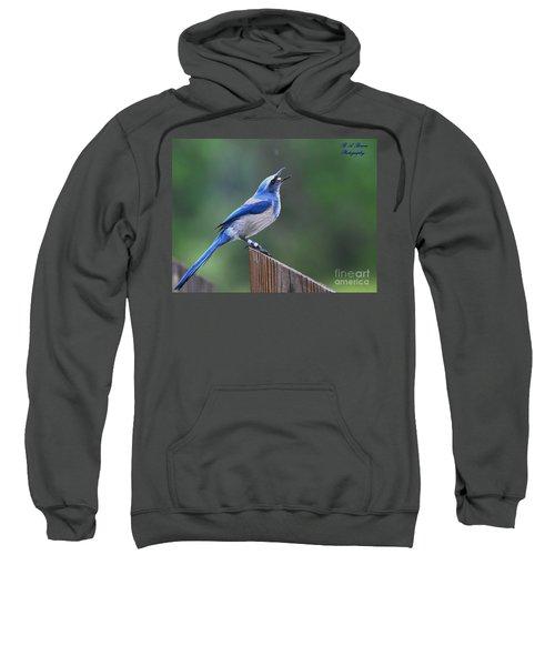 Florida Scrub Jay Eating Sweatshirt