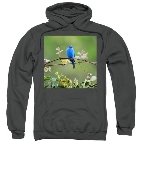 Indigo Bunting Perched Square Sweatshirt by Bill Wakeley