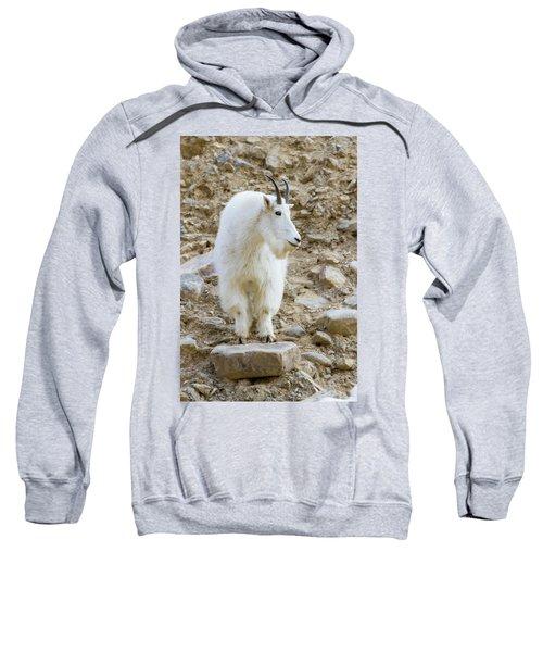 A Mountain Goat On Watch In The Big Sweatshirt