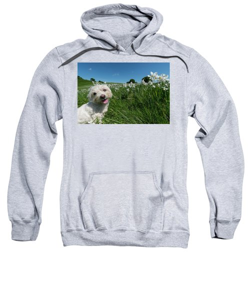 Blooming Daffodils In The Antola Park With Maltese II Sweatshirt