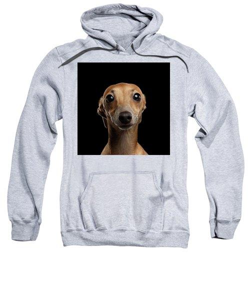 Closeup Portrait Italian Greyhound Dog Looking In Camera Isolated Black Sweatshirt