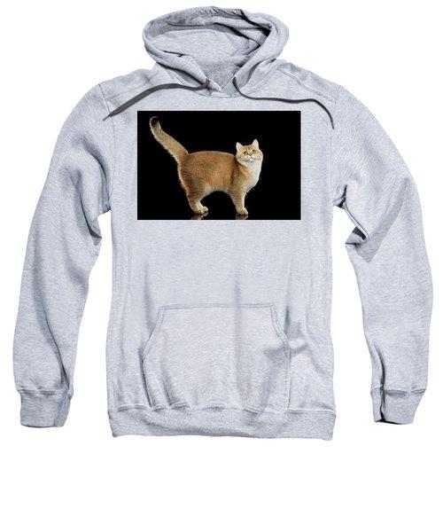 Funny British Cat Golden Color Of Fur Sweatshirt