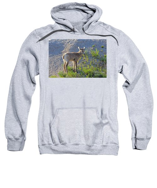 Young Rocky Mountain Bighorn Sheep Sweatshirt