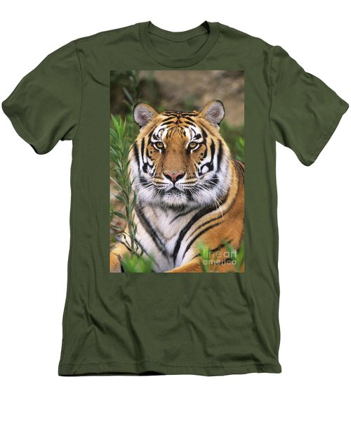 Siberian Tiger Staring Endangered Species Wildlife Rescue Men's T-Shirt (Athletic Fit)