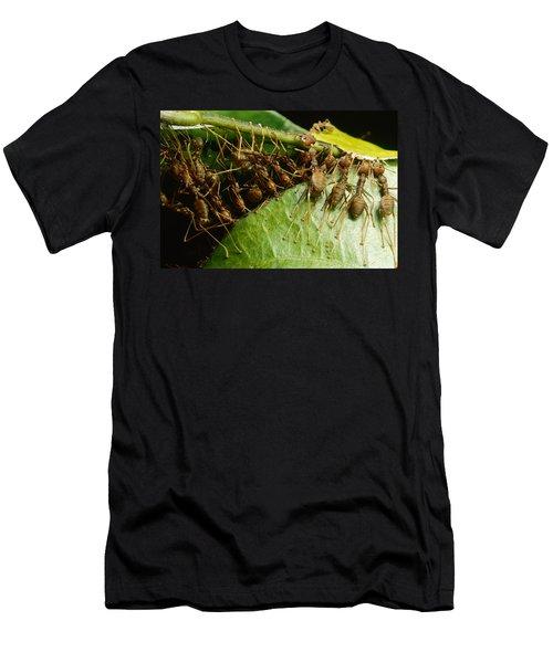 Weaver Ant Group Binding Leaves Men's T-Shirt (Slim Fit) by Mark Moffett