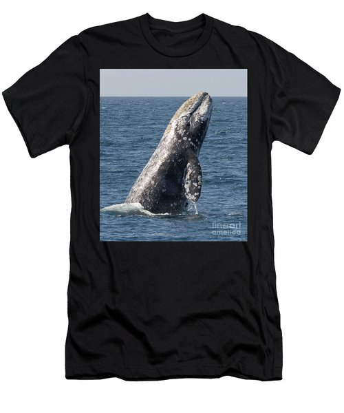 Breaching Gray Whale In Dana Point Men's T-Shirt (Athletic Fit)