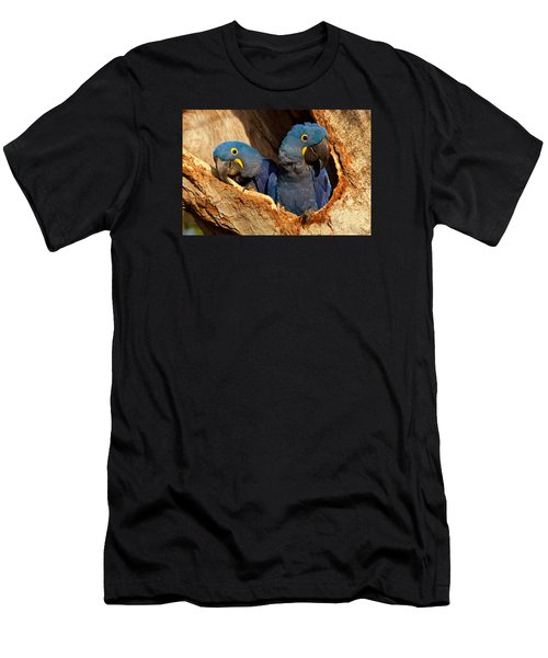 Hyacinth Macaw Pair In Nest Men's T-Shirt (Slim Fit) by Aivar Mikko