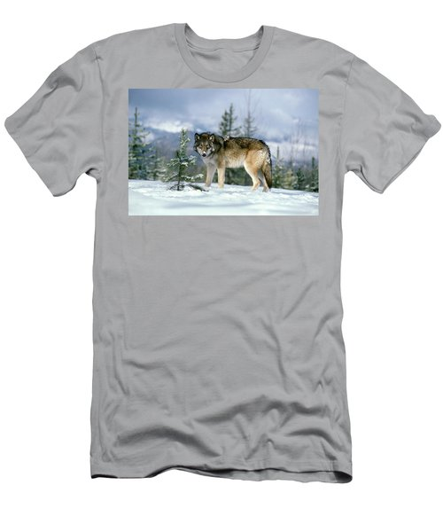 Gray Wolf Canis Lupus In Winter Snow Men's T-Shirt (Athletic Fit)