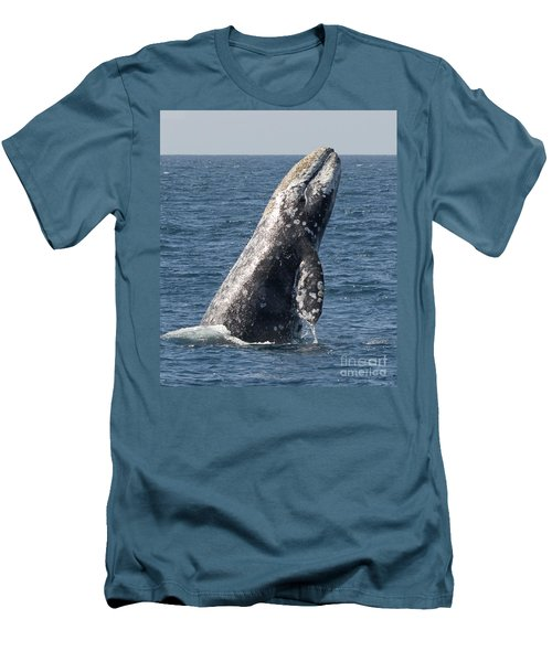 Breaching Gray Whale In Dana Point Men's T-Shirt (Slim Fit)