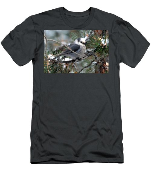 Gray Jay On A Snowy Pine Men's T-Shirt (Athletic Fit)