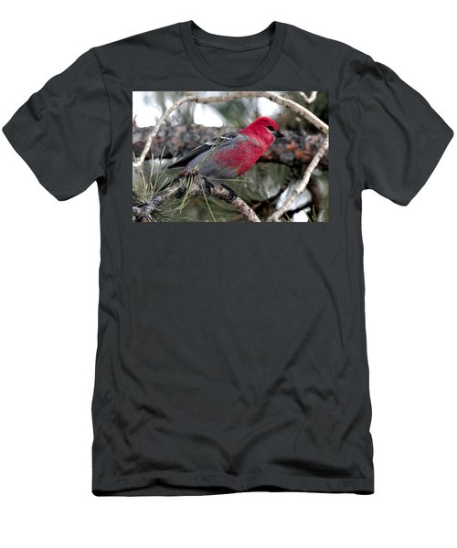 Pine Grosbeak On Ponderosa Pine Tree Men's T-Shirt (Athletic Fit)