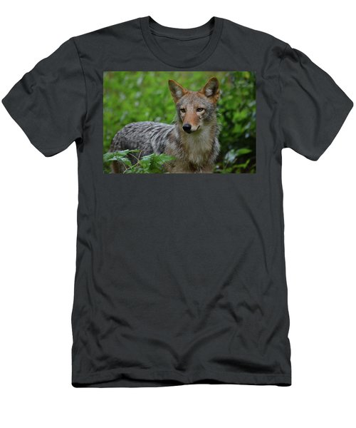 Coyote On The Prowl  Men's T-Shirt (Athletic Fit)