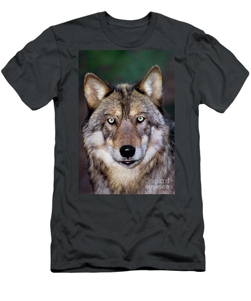 Gray Wolf Portrait Endangered Species Wildlife Rescue Men's T-Shirt (Athletic Fit)