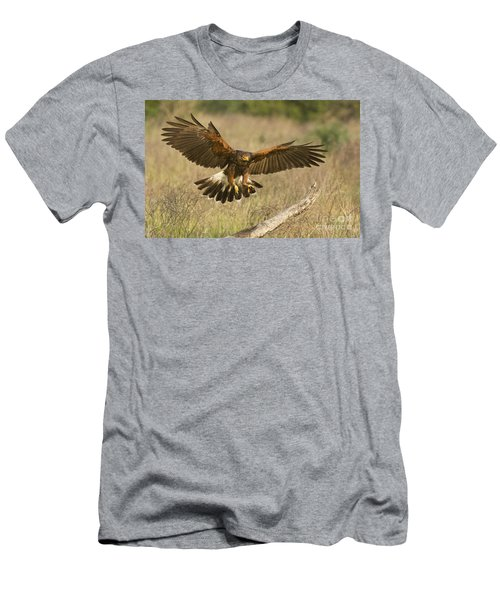 Wild Harris Hawk Landing Men's T-Shirt (Athletic Fit)