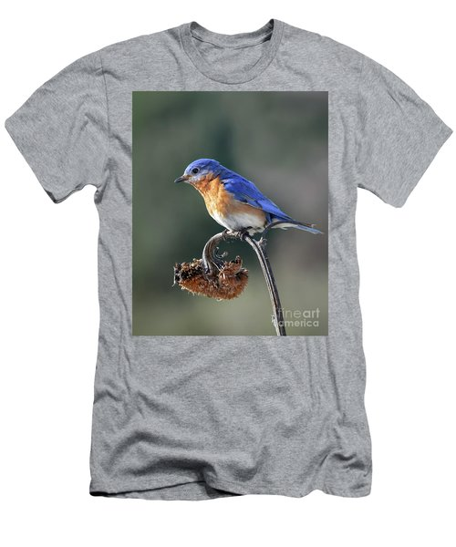 Eastern Bluebird In Spring Men's T-Shirt (Slim Fit) by Amy Porter