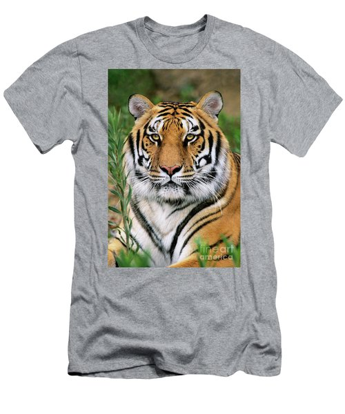 Siberian Tiger Staring Endangered Species Wildlife Rescue Men's T-Shirt (Athletic Fit)