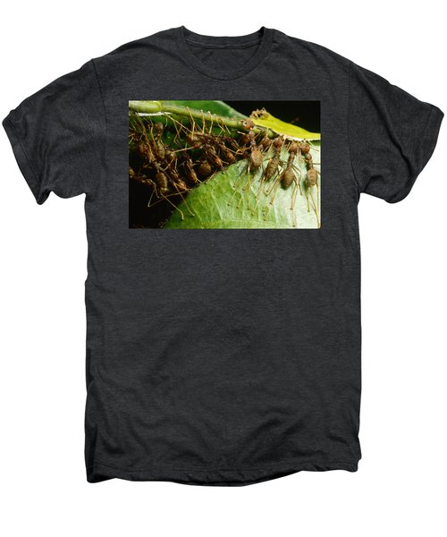 Weaver Ant Group Binding Leaves Men's Premium T-Shirt by Mark Moffett