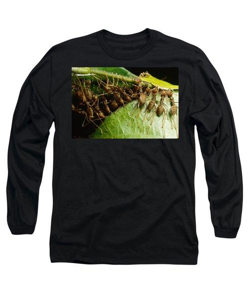 Weaver Ant Group Binding Leaves Long Sleeve T-Shirt by Mark Moffett