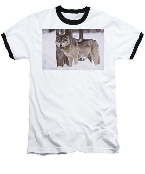 Timber Wolf In Winter Baseball T-Shirt