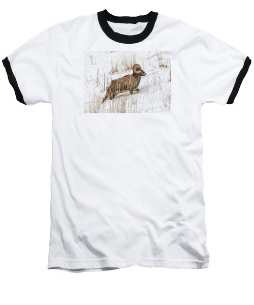 Bighorn In Yellowstone Baseball T-Shirt by Alan Toepfer