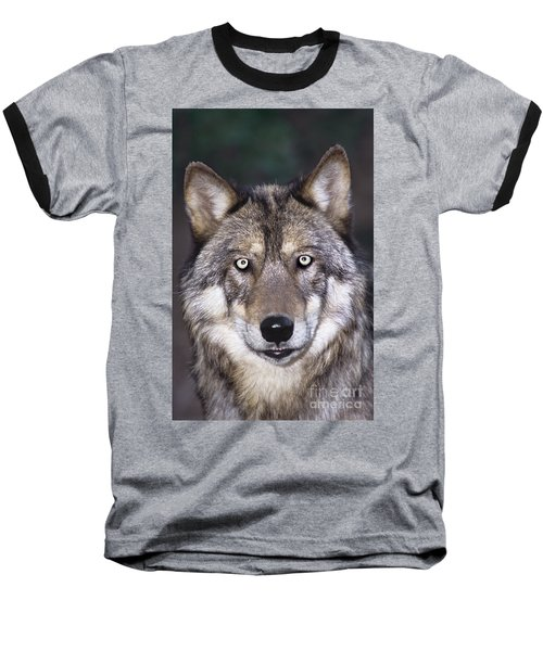 Gray Wolf Portrait Endangered Species Wildlife Rescue Baseball T-Shirt by Dave Welling