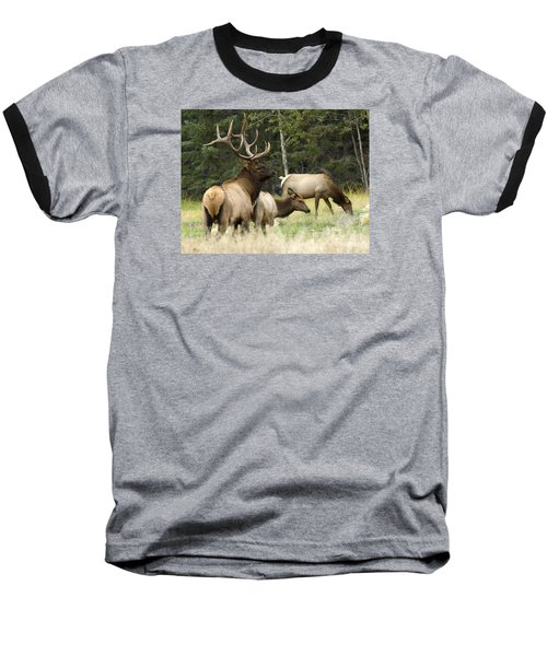 Bull Elk With His Harem Baseball T-Shirt by Bob Christopher