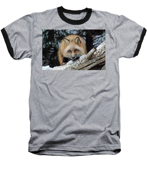 Curious Fox Baseball T-Shirt by Richard Bryce and Family