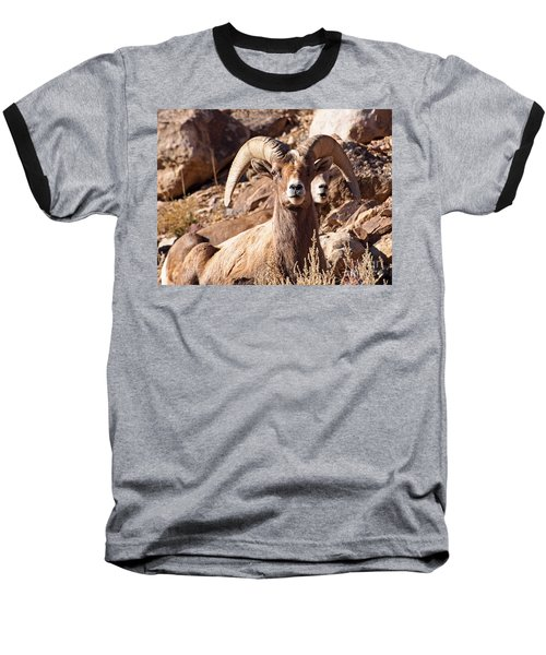 Desert Bighorn Sheep Baseball T-Shirt by Nadja Rider