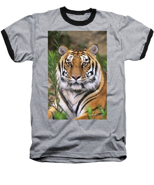 Siberian Tiger Staring Endangered Species Wildlife Rescue Baseball T-Shirt by Dave Welling